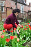 Aged woman collects tulips in the garden Stock Images