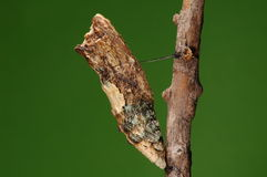 Agehana elwesi/ pupa on tree Stock Photo