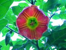Ageing Brugmansia Sanguinea / Angel`s Trumpet Flower Face Stock Image