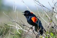 agelaius红翼黑鹂的phoeniceus 免版税图库摄影