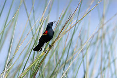 agelaius红翼黑鹂的phoeniceus 免版税库存照片