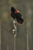 Agelaius phoeniceus. A male red-winged blackbird during courtship Royalty Free Stock Photography
