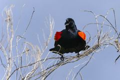 Agelaius phoeniceus, red-winged blackbird Stock Photography