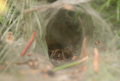 Agelena labyrinthica - male. The spider in your home Stock Photography