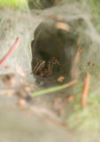 Agelena labyrinthica - male. The spider in your home Royalty Free Stock Photography