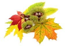 Agencement avec des lames et des châtaignes d'automne Image stock