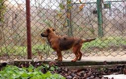 Agente de segurança corajoso do cachorrinho perto da cerca do metal O cão pequeno está no protetor no quintal Fotos de Stock Royalty Free