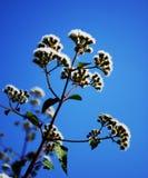Ageratina Adenophora Fotografia Royalty Free