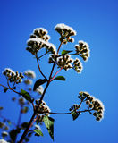 Ageratina Adenophora Royalty Free Stock Photography