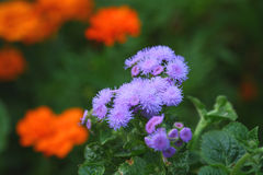 Ageratum Royalty Free Stock Image