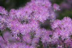 ageratum Photos stock