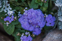 ageratum Obrazy Royalty Free