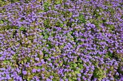 Ageratum. Background Stock Photos