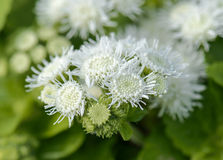 Ageratum beautiful flower on the nature Stock Images