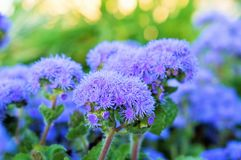 Ageratum beautiful flowers in the flowerbed stock photos
