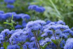 Ageratum beautiful flowers in the flowerbed royalty free stock images