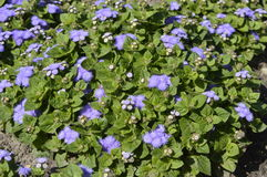 Ageratum. Called Hawaii Blue - small blue flower designated to garden decoration Stock Photography