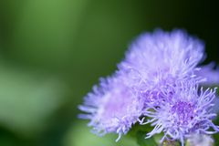 Ageratum closeup on a green meadow Royalty Free Stock Images