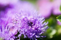 ageratum closeup on a green meadow Stock Images