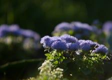 Ageratum conyzoides świrzepa, pisklęca świrzepa biała, goatweed, Zdjęcie Royalty Free