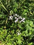 Ageratum conyzoides, Billygoat świrzepa, Pisklęca świrzepa lub kwiat Goatweed lub Whiteweed Obrazy Stock