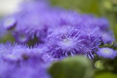 Ageratum conyzoides, billygoat-weed. Natural macro background royalty free stock photo