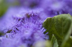 Ageratum conyzoides, billygoat-weed. Natural macro background stock photos