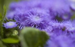 Ageratum conyzoides, billygoat-weed. Natural macro background stock image