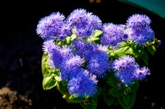 Ageratum conyzoides (billygoat-weed, chick weed, goatweed, white. Ageratum littorale, (billygoat-weed, chick weed, goatweed, whiteweed) is a plant species native stock photos