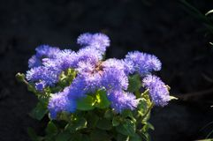 Ageratum conyzoides (billygoat-weed, chick weed, goatweed, white. Ageratum littorale, (billygoat-weed, chick weed, goatweed, whiteweed) is a plant species native royalty free stock image