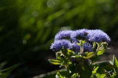 Ageratum conyzoides (billygoat-weed, chick weed, goatweed, white. Ageratum littorale, (billygoat-weed, chick weed, goatweed, whiteweed) is a plant species native stock photography