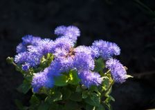 Ageratum conyzoides billygoat-weed, chick weed, goatweed, white. Ageratum littorale, billygoat-weed, chick weed, goatweed, whiteweed is a plant species native to royalty free stock images