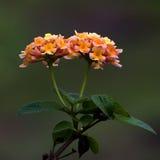 Ageratum conyzoides bloemen Stock Fotografie