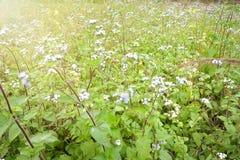 Ageratum conyzoides kwiaty Obraz Stock