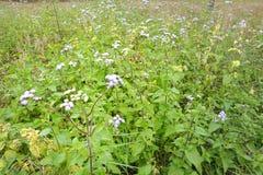 Ageratum conyzoides kwiaty Zdjęcia Royalty Free