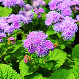 Ageratum de Houston, ou ageratum mexicano (houstonianum do Ageratum) Imagens de Stock Royalty Free