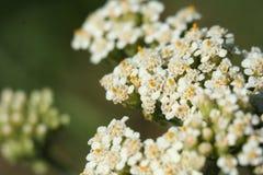Ageratum del fiore Fotografia Stock