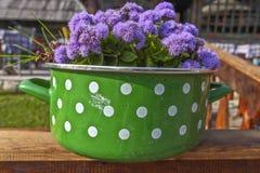 Ageratum floss in the pot Stock Photos
