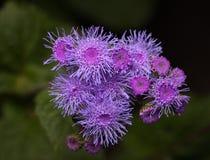 Ageratum of flossflower lilac bloemen stock afbeeldingen