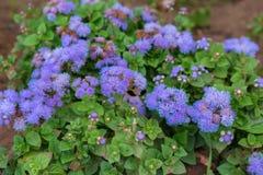 Ageratum flossflower lub houstonianum Zdjęcie Stock