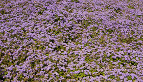 Ageratum Royalty Free Stock Photography
