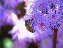 Ageratum flowers with bee Stock Photos