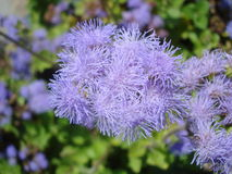 Ageratum houstonianum. Commonly known as Bluemink or Floss Flower, belongs to the family of the Asteraceae. It is often grown in flowerbeds in gardens Stock Images