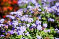 Ageratum Houstonianum błękit, roślina z kwiatami Zdjęcia Stock