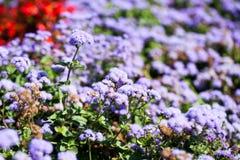 Ageratum Houstonianum błękit, roślina z kwiatami Zdjęcia Royalty Free