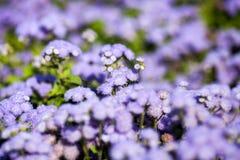 Ageratum Houstonianum błękit, roślina z kwiatami Zdjęcie Royalty Free