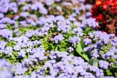Ageratum Houstonianum-Blau, Anlage mit Blumen Lizenzfreie Stockbilder