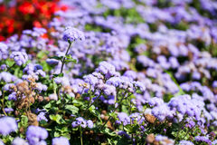 Ageratum Houstonianum Blue, plant with flowers Royalty Free Stock Photos
