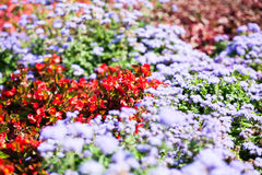 Ageratum Houstonianum Blue, plant with flowers Royalty Free Stock Images