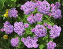 Ageratum houstonianum Blume Lizenzfreie Stockbilder
